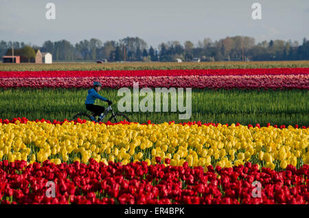 Cyclist riding by the colourful tulip fields in the Skagit Valley of Washington State, USA.  Near LaConner and Mount - Stock Photo