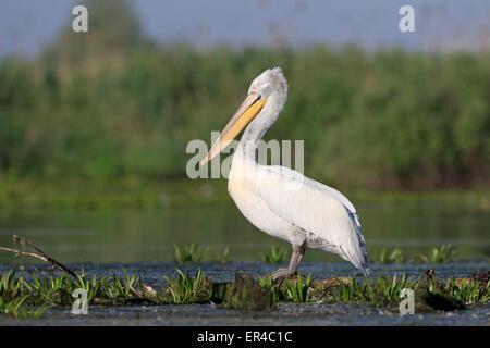 Dalmatian Pelican in the Danube Delta - Stock Photo