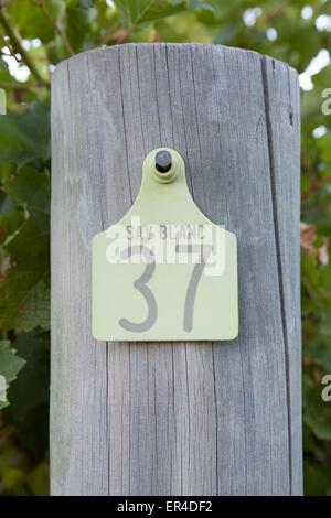 sauvignon blanc tagged vines in the Cape Lodge resort vineyard - Stock Photo