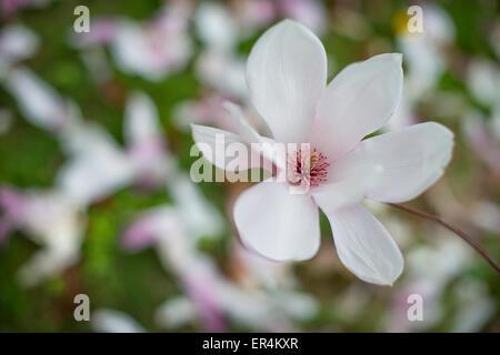 Flower On Magnolia Tree - Stock Photo