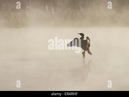 Adult Great Cormorant (Phalacrocorax carbo) perched on a stump in middle of a misty lake - Stock Photo