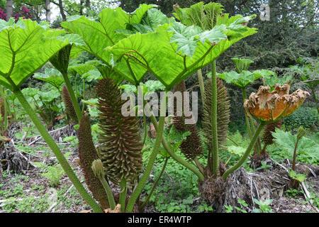Gunnera manicata or giant rhubarb in Spring Uk - Stock Photo