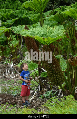 Small child and giant plant Gunnera manicata or giant rhubarb in Spring Uk - Stock Photo