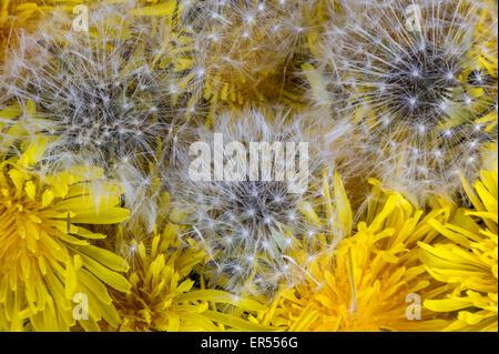 contemporary dandelion head floral - photo #31