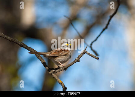 White-throated sparrow, Zonotrichia albicollis, perched on a tree branch in the Glory Hills Conservation Area, Alberta - Stock Photo