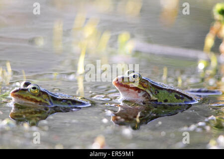 Edible frogs (Pelophylax esculentus) in the mating season in a pond in Frankfurt, Germany in spring. - Stock Photo