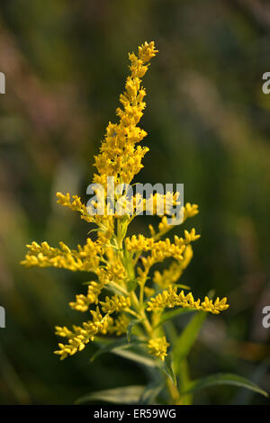 an analysis of the herb goldenrod in canada Herb: canadian goldenrod latin name: solidago canadensis synonyms: solidago lepida family: compositae medicinal use of canadian goldenrod: haemostatic, styptic the root is applied as a poultice to burns an infusion of the dried powdered herb can be used as an antiseptic.