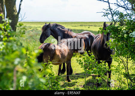 Horses on a paddock, Langeoog Island, North Sea, East Frisian Islands, East Frisia, Lower Saxony, Germany, Europe - Stock Photo