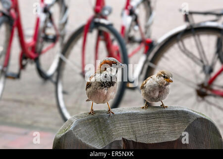 Pair of house sparrows, Passer domesticus, Langeoog Island, North Sea, East Frisian Islands, East Frisia, Lower - Stock Photo
