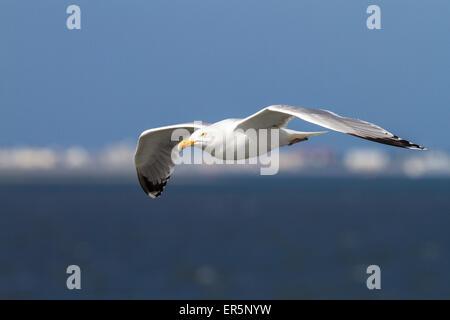 Herring gull in flight, Larus argentatus, North Sea, Germany - Stock Photo