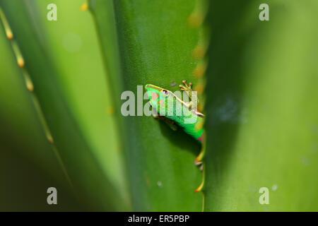 Lined Day Gecko, Phelsuma lineata bifasciata, Canal de Pangalanes, East Madagascar, Madagascar, Africa - Stock Photo