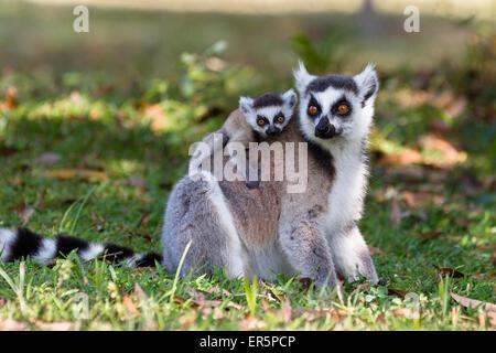 Ringtailed Lemur with baby, Lemur catta, Nahampoana Reserve, South Madagascar, Africa - Stock Photo