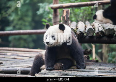 Panda in the jungle - Stock Photo