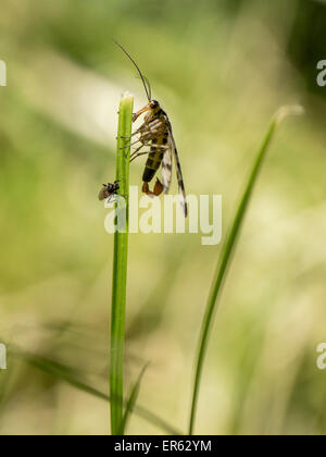 Common Scorpionfly (Panorpa communis), male, Saxony-Anhalt, Germany - Stock Photo