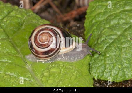 White-lipped Snail (Cepaea hortensis), Baden-Württemberg, Germany - Stock Photo