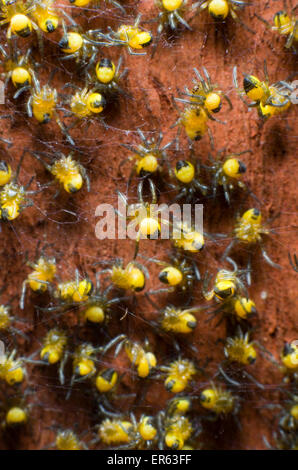 Baby garden spiders (Araneus diadematus) on red-brown fence post. - Stock Photo