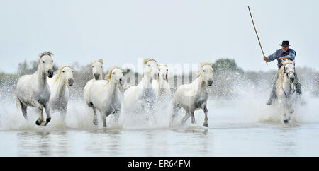 Herd of White Camargue horses run on water of the sea. France. - Stock Photo