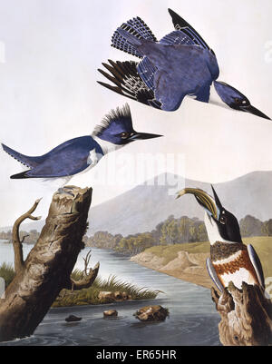 Belted Kingfisher, by John James Audubon (1785-1851). A colour plate in The Birds of America: From Original Drawings. - Stock Photo