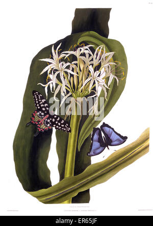 Crinum Pedunculatum, also known as Swamp Lily, River Lily and Mangrove Lily, with two butterflies, Papilio Antenor - Stock Photo