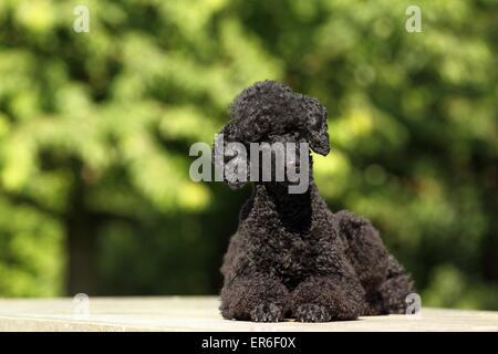 lying Miniature Poodle - Stock Photo