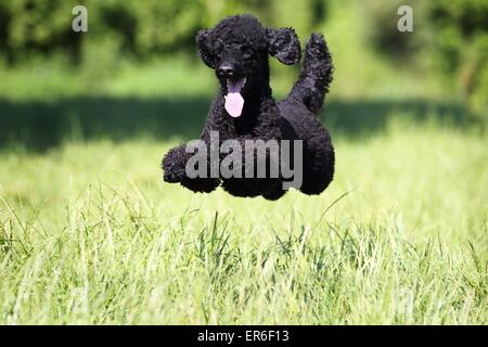 jumping Miniature Poodle - Stock Photo
