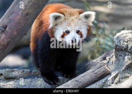 Cumiana, Italy. 27th May, 2015. A red panda puppy at Zoom Torino. There are two red panda male puppies of Yangon - Stock Photo
