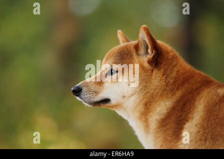 Shiba Inu Portrait - Stock Photo