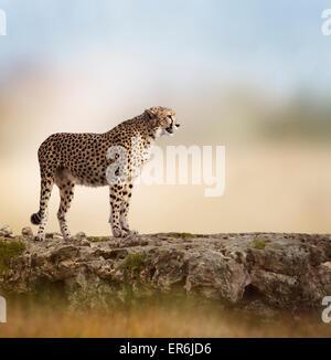Cheetah (Acinonyx jubatus) Stands  On Top of a Rock - Stock Photo