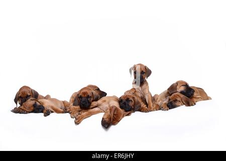 Rhodesian Ridgeback Puppies - Stock Photo
