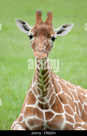Young Reticulated Giraffe sitting down on the grass - Stock Photo