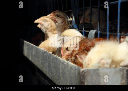 Caging of chicken and hens in a egg factory - Stock Photo
