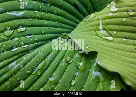 Plant with decorative and ornamental foliage - Hosta, drops on a leaf - Stock Photo