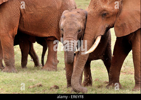Young Elephant and its sister with tender feelings - Stock Photo