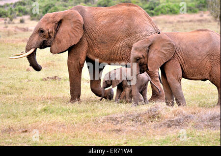 Three elephants in Tsavo East National Park, young baby and its parents - Stock Photo