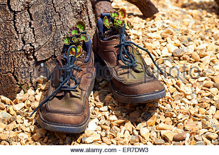 an old pair of dirty gardening shoes with tied up laces and filled with geraniums in the springtime - Stock Photo