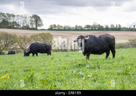 Water buffalo grazing in field at Laverstoke Park Farm, Hampshire, England, UK. - Stock Photo
