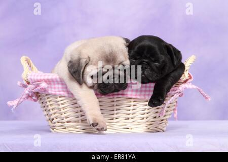 pug puppies - Stock Photo