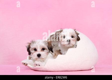 mongrel puppies - Stock Photo