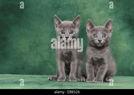 Russian blue kitten - Stock Photo