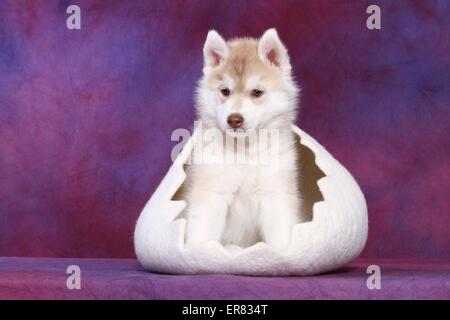Siberian Husky Puppy - Stock Photo