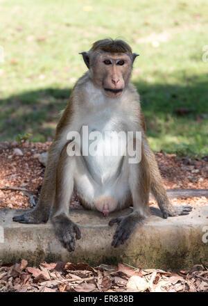 Toque Macaque - Macaca sinica, Polonnaruwa, Sri Lanka - Stock Photo