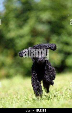 Miniature Poodle Puppy - Stock Photo