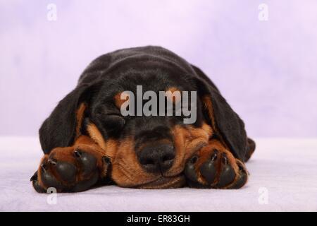 German Pinscher Puppy - Stock Photo