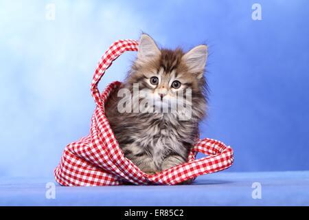 Norwegian Forestcat kitten