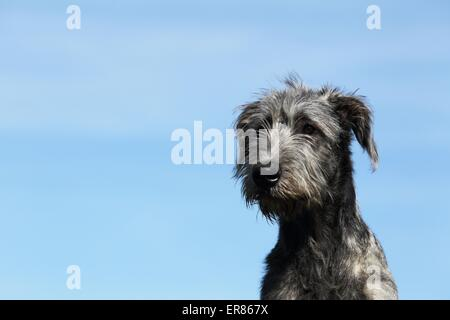 Irish Wolfhound portrait - Stock Photo