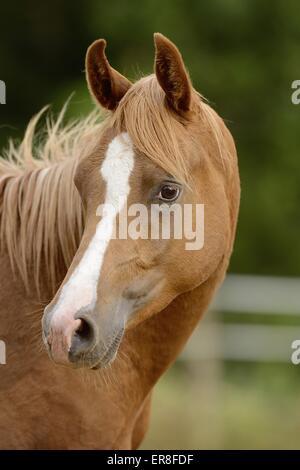 arabian horse portrait - Stock Photo
