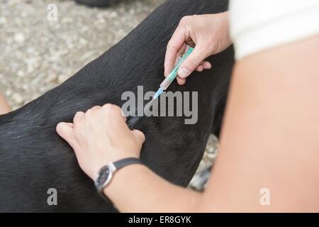 veterinarian inoculates dog - Stock Photo