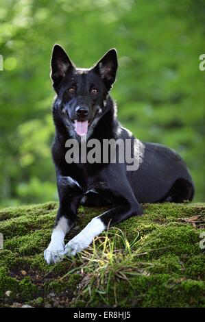 lying Lapponian Herder - Stock Photo