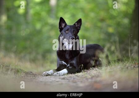 lying Lapp Reindeer dog - Stock Photo