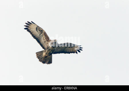 Common Buzzard in flight over St Gothian LNR, Gwithian, Cornwall, England, UK. - Stock Photo